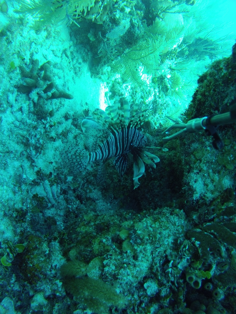 Lionfish in Belize-about to be culled