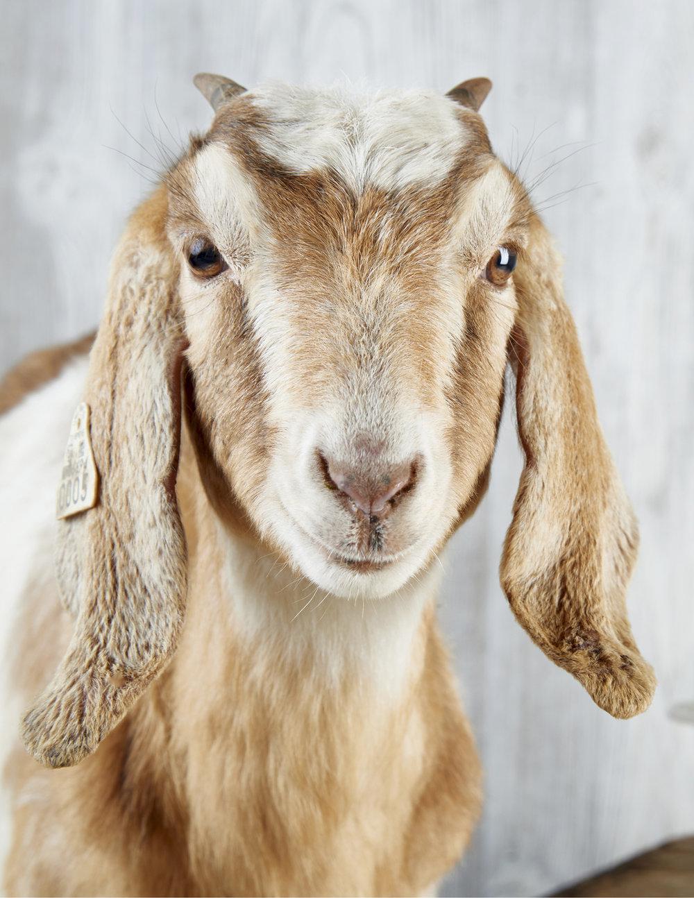Website_Vertical_0016_Beekman 1802 Goats17044.jpg