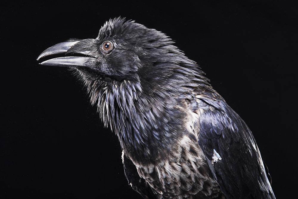 2016_Riddick the Raven_ 39.jpg