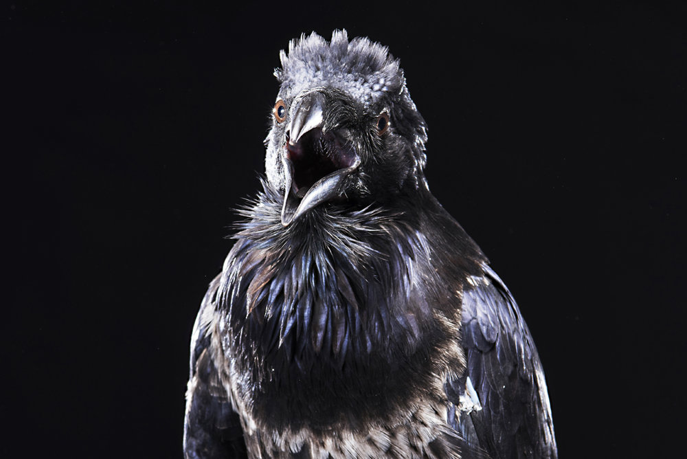 2016_Riddick the Raven_ 43.jpg