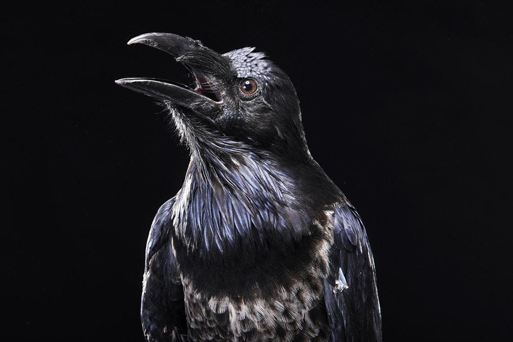 2016_Riddick the Raven_ 33.jpg