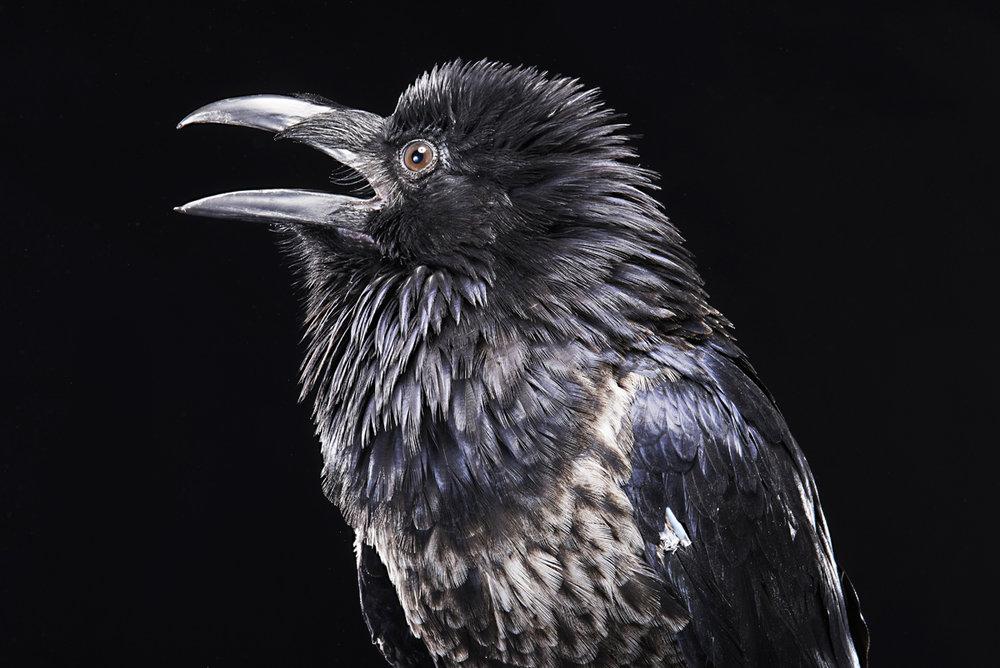 2016_Riddick the Raven_ 41.jpg