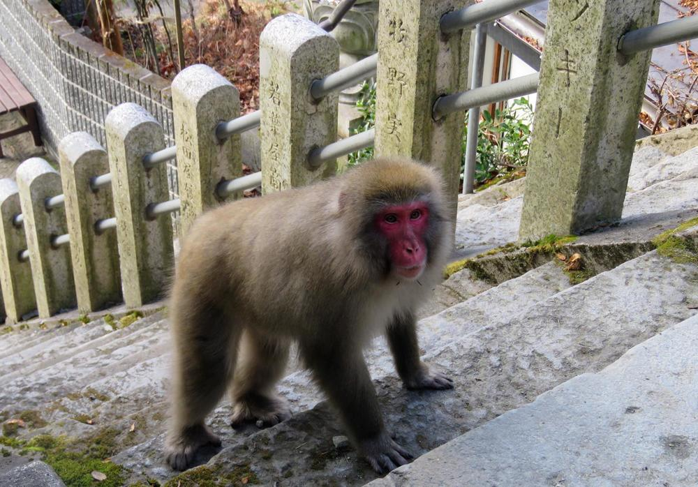 The snow monkeys pop down to town. They prefer the many onsens in town!.jpg