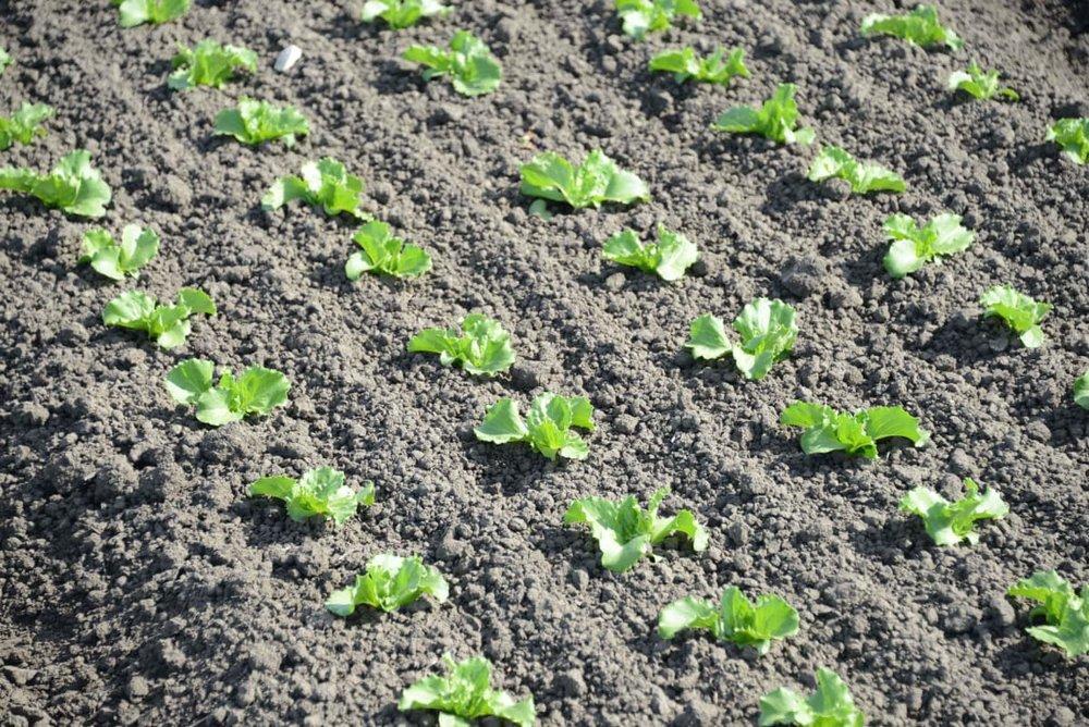 veggie-plot.jpg