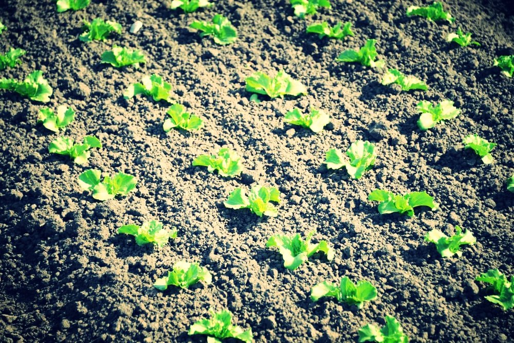 Vegetables - Agronomy services for vegatable producers
