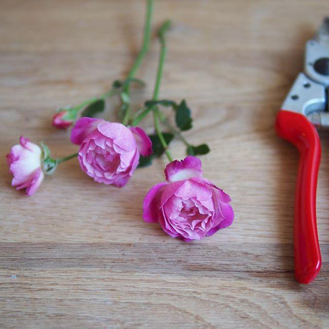 こんなに寒いのに可愛いのが咲いた😍 小さいのにいい香り😌💕 #gardenroses #sophiesperpetual #chinarose #felco