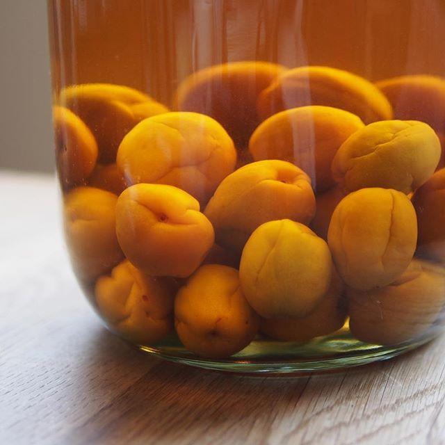玄米焼酎で仕込んだ梅酒。味見したら美味しくて熟成する前に飲んでしまいそう😋 #plumliqueur #梅酒 #小正醸造