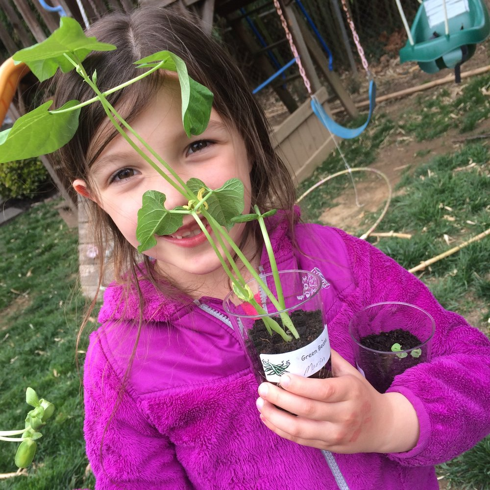 Marin with green bean plant started at school and transferred to our garden.
