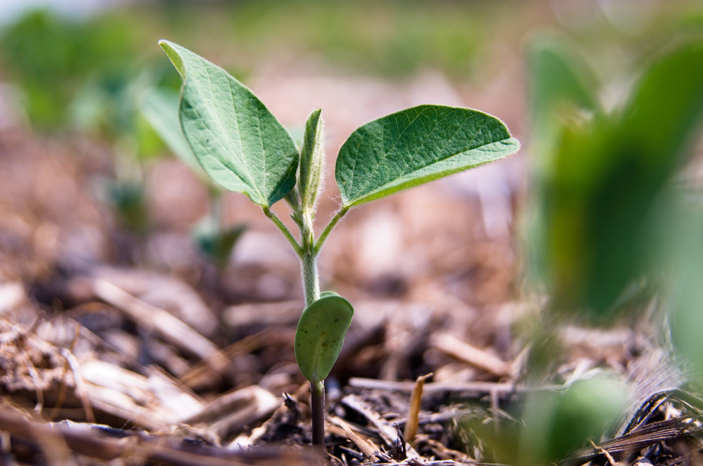 """Soybean Plant Closeup"" by United Soybean Board - is licensed under CC BY 2.0"