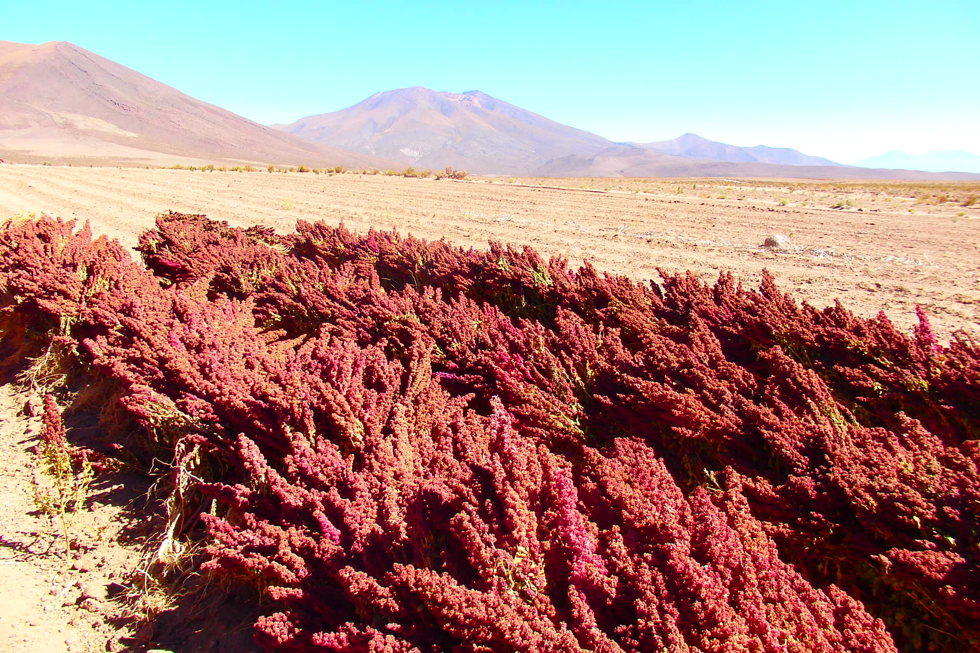 Red quinoa recently harvested in the community of Copacabana, Nor Lipez(Photo: Maurice Tschopp)