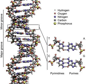 Рисунок 3: Структура ДНК. Пары оснований, AT и GC образуют ступени двойной спирали «лестницы». Ичточник: Wikimedia Commons.