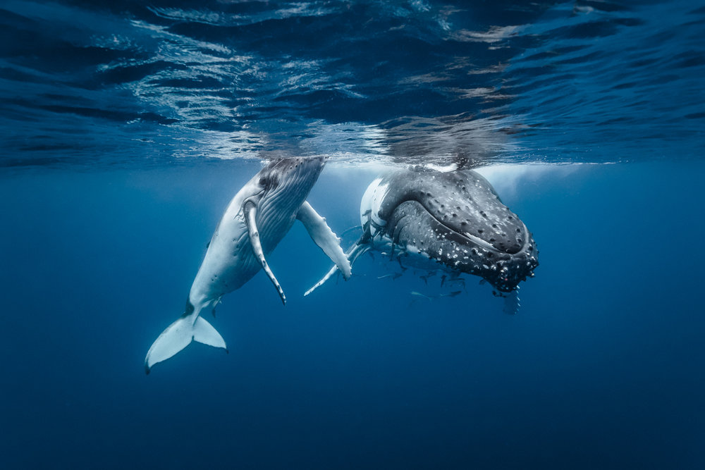 Tonga: Snorkeling with Humpbacks - Sept 28 - Oct 3, 2020