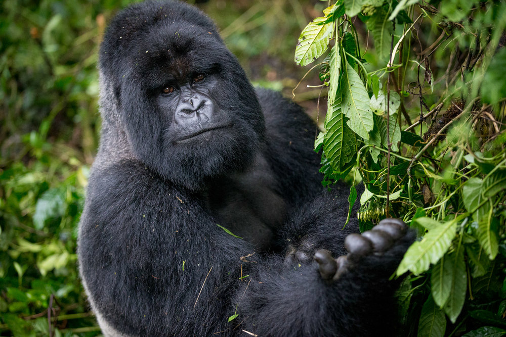 Ultimate Great Apes: Mountain Gorillas and Chimpanzees - May 6-15, 2020