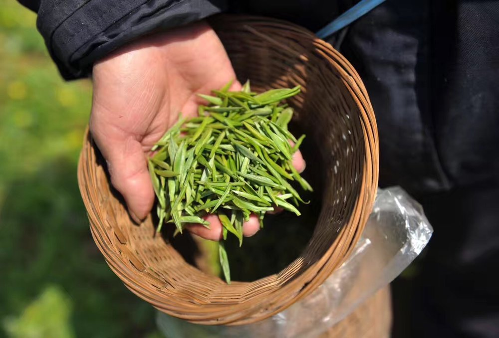 Picking Lushan green tea in Jiangxi, China