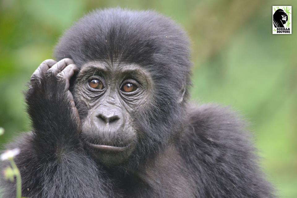 Photo: Gorilla Doctors  www.gorilladoctors.org ,  www.facebook.com/gorilladoctors