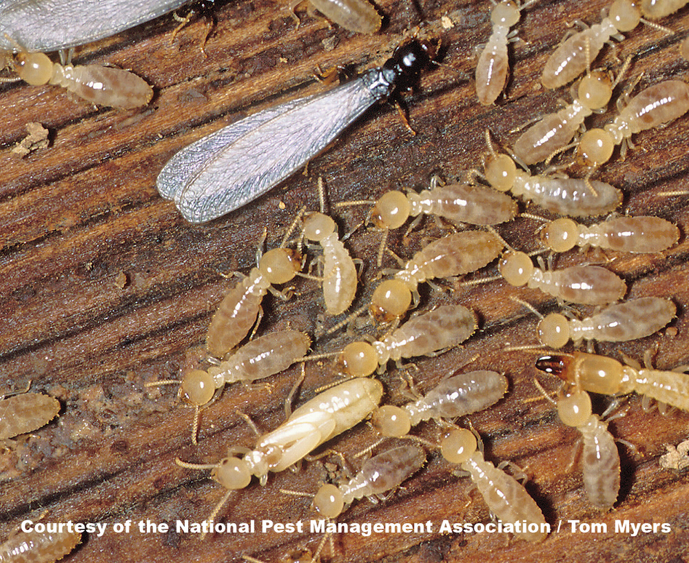 "Subterranean termites with a ""Swarmer"" shown. Swarmers are the winged adult termites that fly away to begin their own colonies."