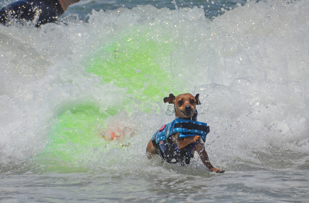 Doodle does his best Superman impression at Loews Coronado surf dog contest. Guess what? He didn't win!  Photo: Caroline Fenton