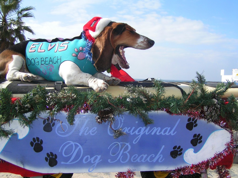 "Elvis of Surf Dog Diaries at our annual Dog Beach ""Sandy Claws"" fundraiser.  My 2nd generation surf dog.  Photo (c) Barb Ayers, DogDiary.org"