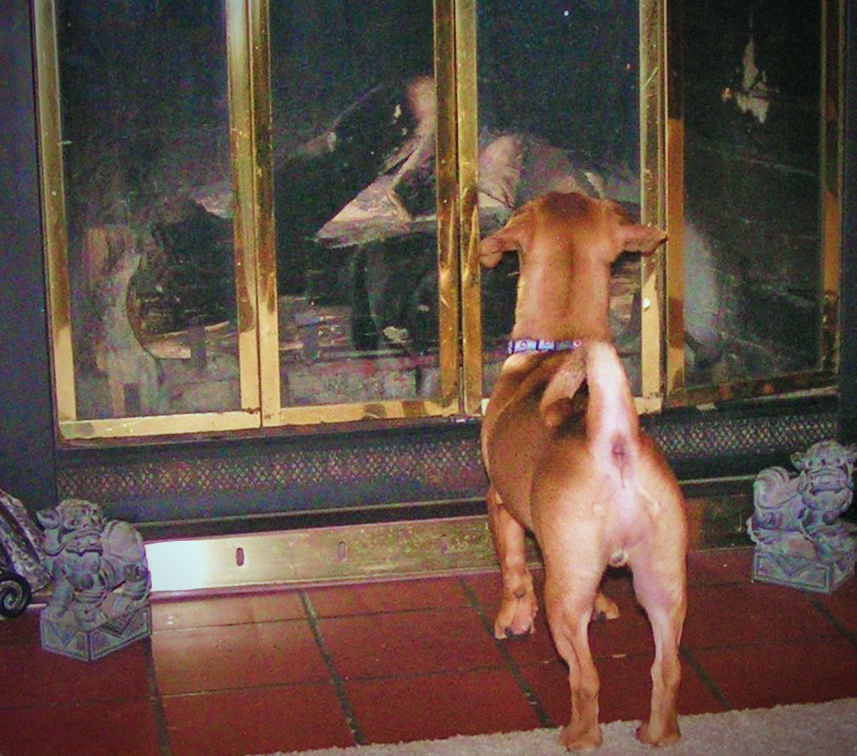 Doodle chases the doggie in the window - himself- his first night in our home.