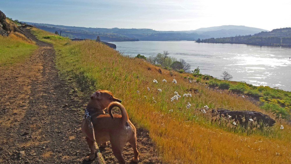 Deep doxie thoughts on springtime in the Gorge. Photo: (c) Barb Ayers, DogDiary.org