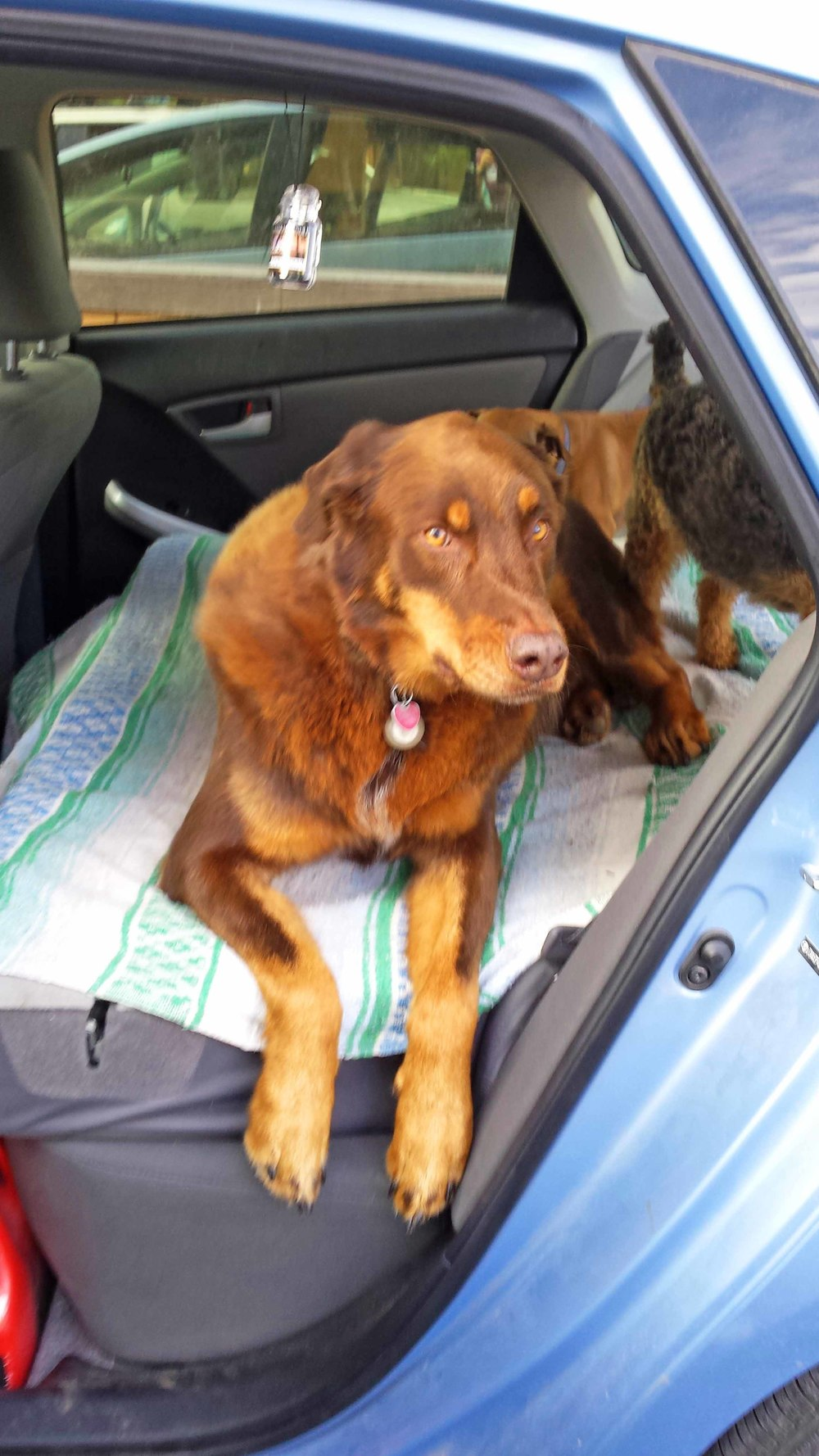 Klaus, big brown back seat driver. Environmentally conscious. Insists on a Prius. Though his extra wide body has more than a little trouble gaining entry....