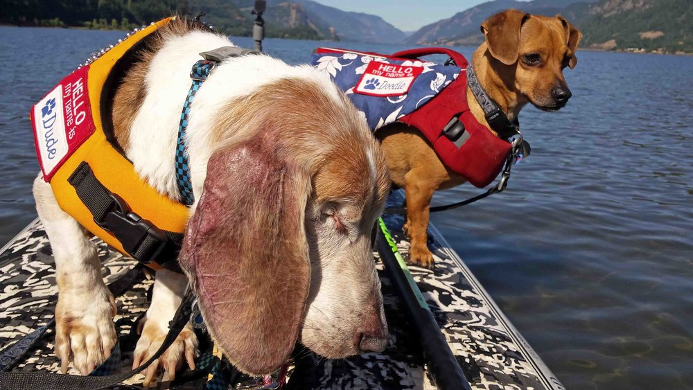 SPRING - SUMMER - FALL -  Dude and Doodle, SUP pups paddle boarding the Columbia River in Hood River (Dog River).             Photo: (c) Barb Ayers, DogDiary.org