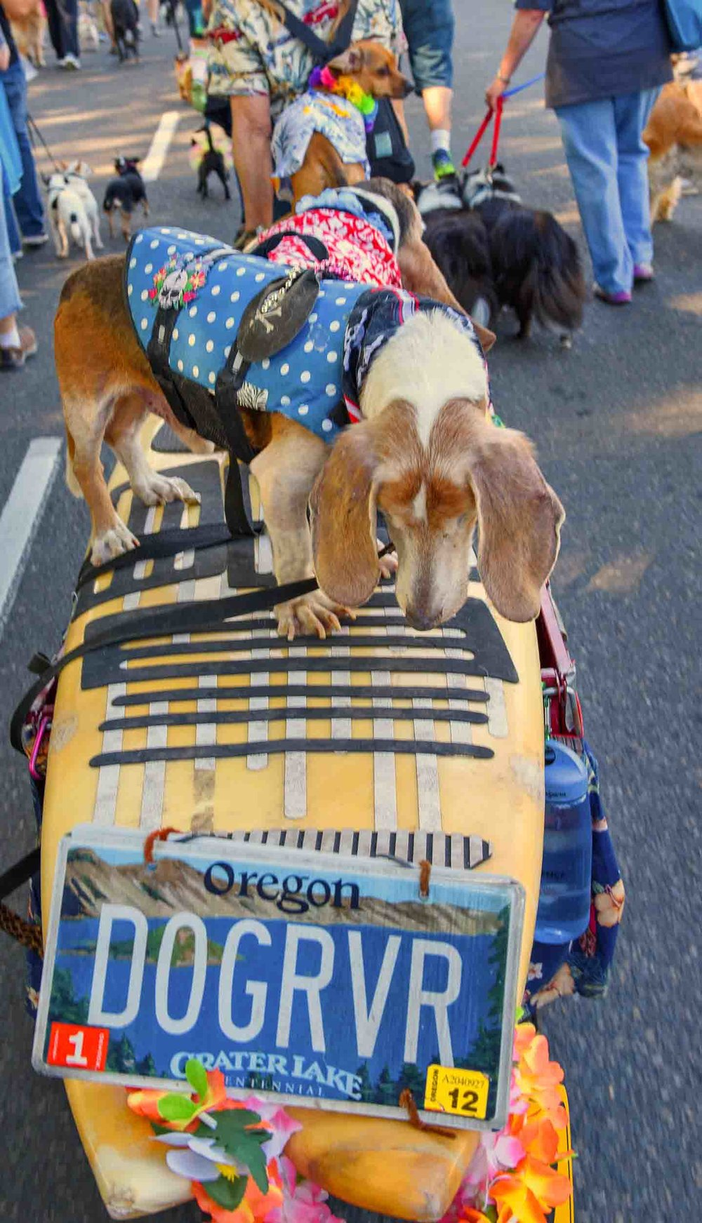 MAY 2015 - 3 surf dogs on board for Doggie Dash - a fundraiser for Oregon Humane Society Photo: (c) Barb Ayers, DogDiary.org
