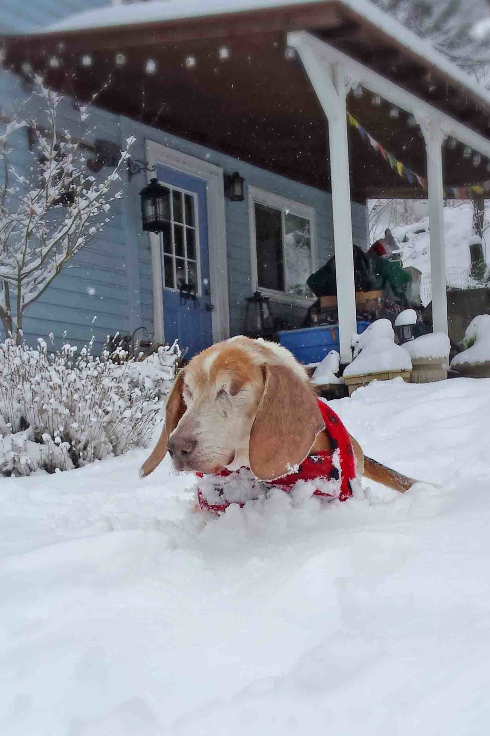 The Dudester surfs the front yard last winter . The original Braveheart!  Photo:   (c) Barb Ayers, DogDiary.org