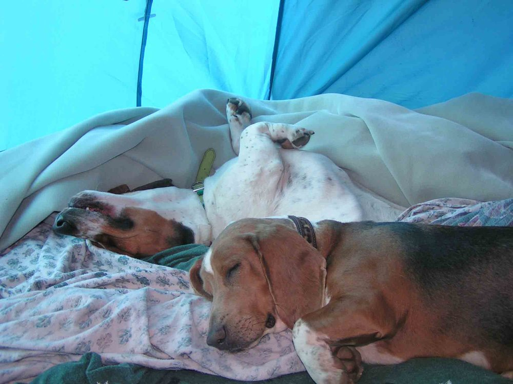 Elvis and Dude asleep in the tent                                    Photo: (c) Barb Ayers, DogDiary.org