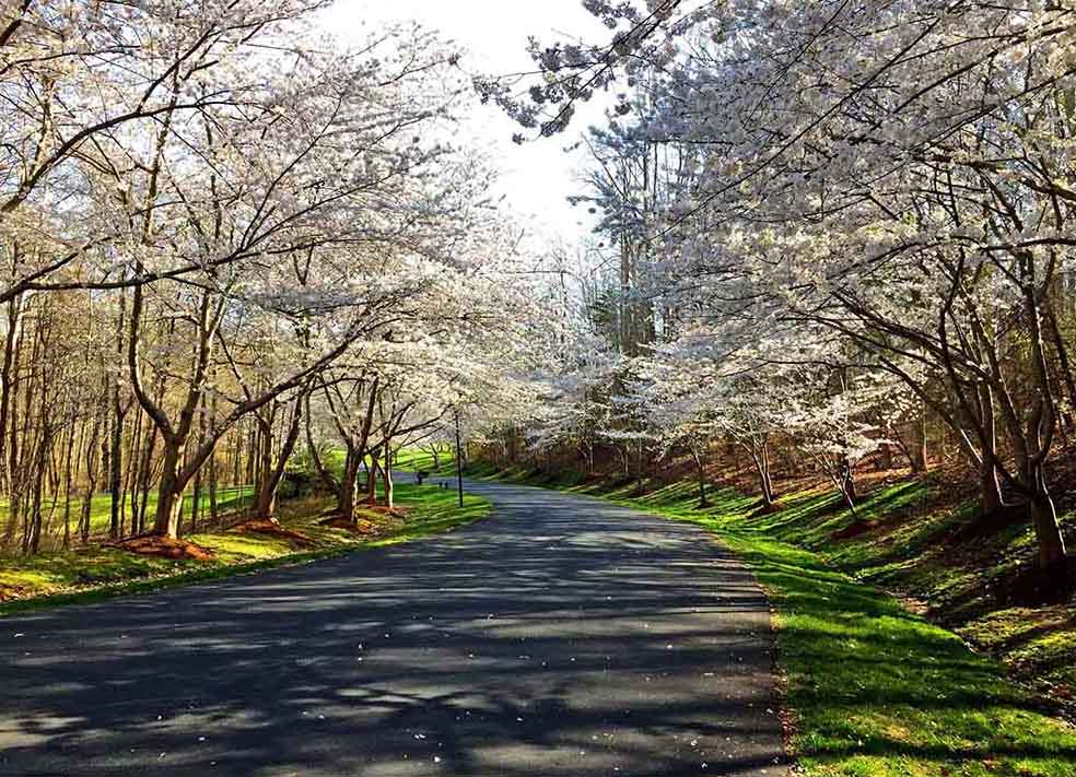 Ahhh... springtime is dog walk season in my Maryland hometown - this was recently with the cherries in bloom
