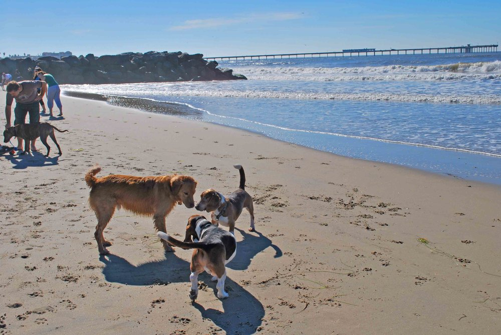 Beach dogs unite at Dog Beach in OB, our old stomping grounds. 2nd and 3rd gen surf bassets, Elvis n Dude romp with friends.   Photo (c) Barb Ayers, DogDiary.org