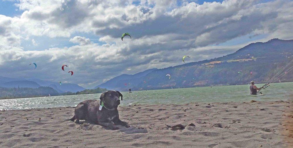Beach dog Simon and kite surf dogs share the Dog River sandbar.  Photo (c) Barb Ayers, DogDiary.org