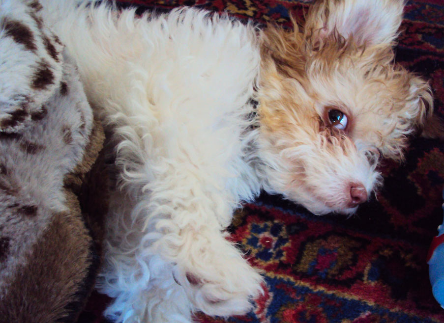 It's me Sofi - on my best side. I'm a Havanese (official dog of Havana, bred from Bichons.) Photo: Martha Miller