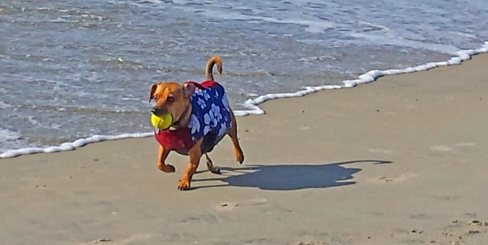 Doodle here - with my golden doxie retriever gig - at Dog Beach.        Photo: (c) Barb Ayers, DogDiary.org