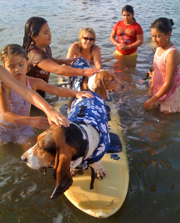 My 2nd and 3rd gen surf dogs, Elvis on the nose and Dude, his basset bro behind.                 Photo (c) Barb Ayers, DogDiary.org