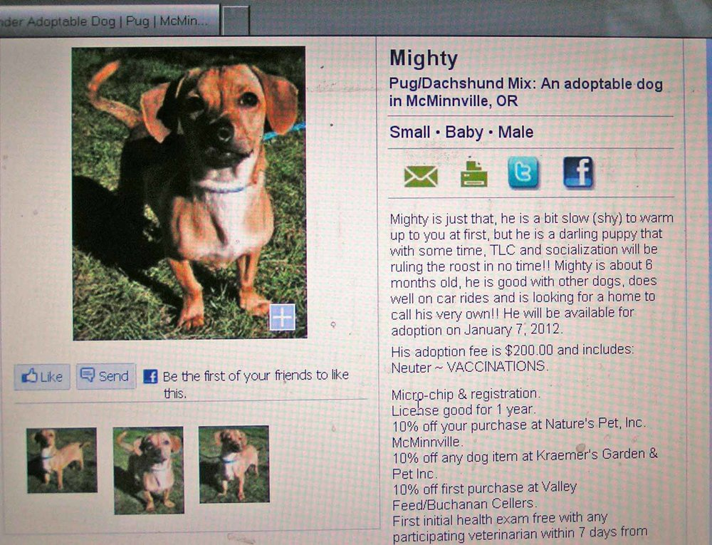 Yamhill County Animal Shelter's listing on PetFinder for doxie mix Mighty.