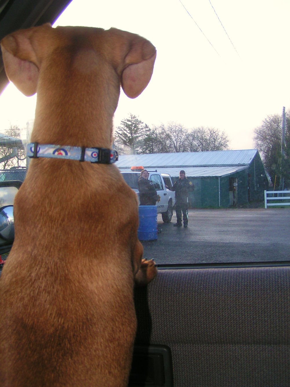 Our new son/brother looks back at his old life with the dog catcher - as we drive away.  Photo: (c) Barb Ayers, DogDiary.org