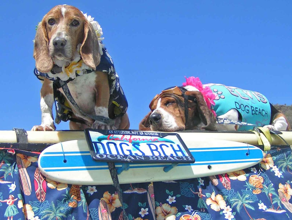 Click on photos for links to related stories.  Dude, Ayers family surf basset #3 and Elvis, surf basset #2, were taught by #1 Howdy Doody, to surf on land and sea.  Photo: (c) Barb Ayers, DogDiary.org,  Surf Dog Diaries