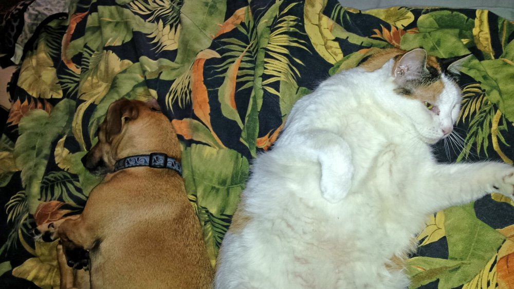 Canine vs. Feline - Tia and Doodle. Two parties on the comforter of life.  Photo (c) Barb Ayers, DogDiary.org