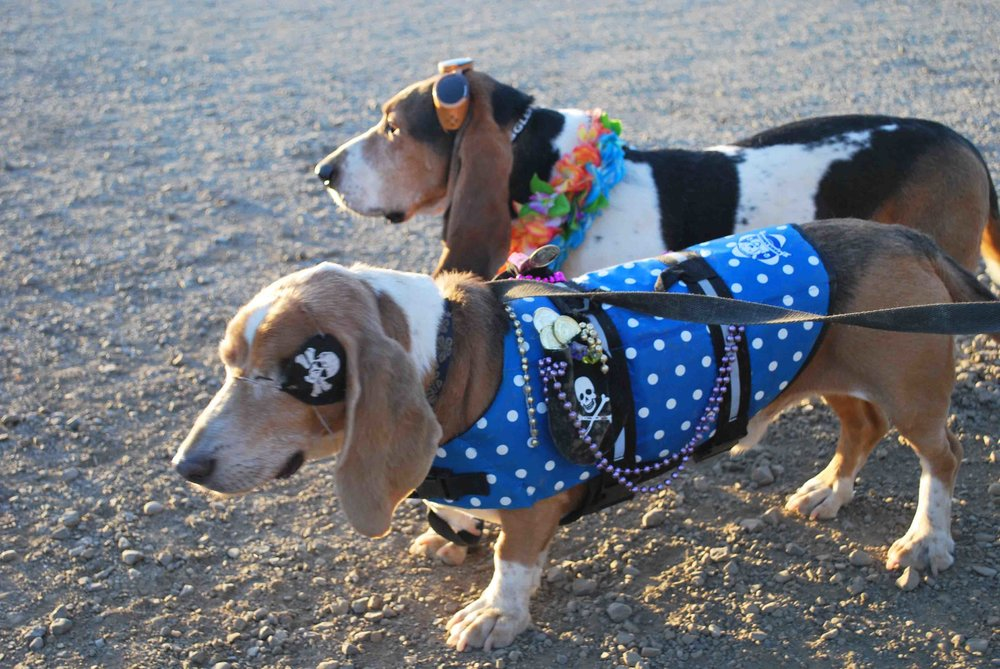 Dude, the blind surf pirate and Elvis, my two basset hound sons, RIP.  Second and third generation surf dogs of  Surf Dog Diaries.                    Photo: (c) Barb Ayers, DogDiary.org