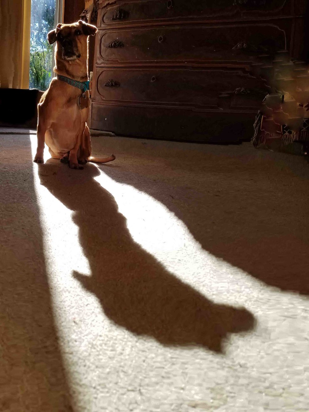 Doodle, Christmas 2017, after flying with me to his grandpa and grandma's. Here, living with the shadow of cancer - before elephant surgery. Photo: Barb Ayers, DogDiary.org