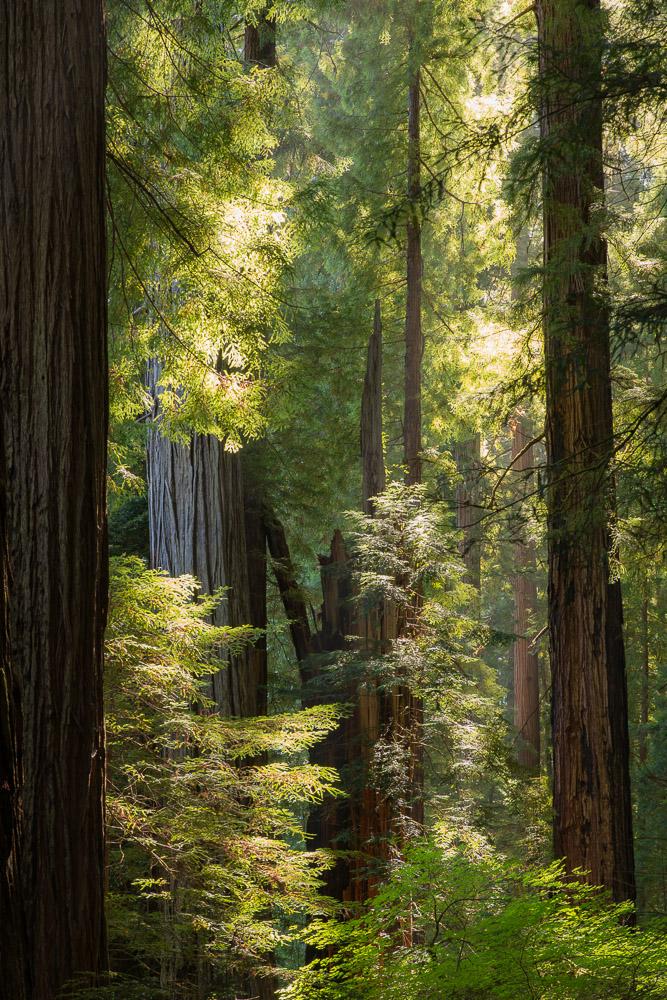 Redwoods-108.jpg
