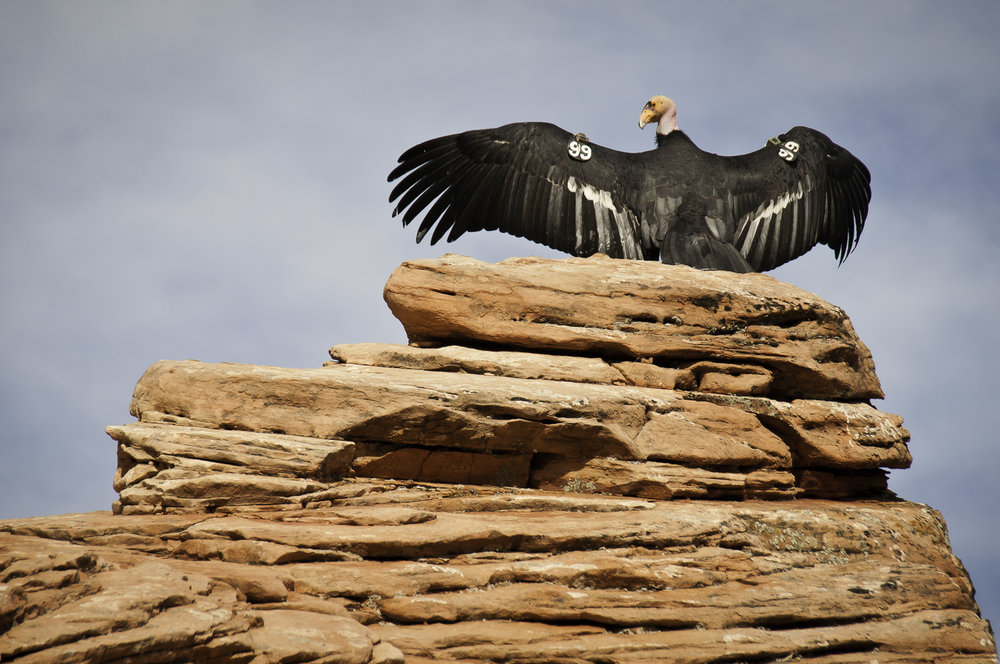 Condor - Zion National Park