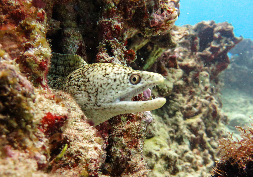 Stout Moray Eel