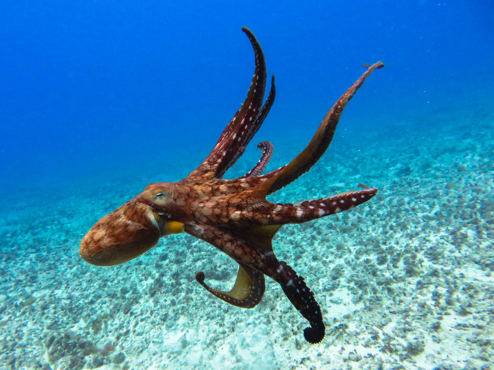 Octopus swimming