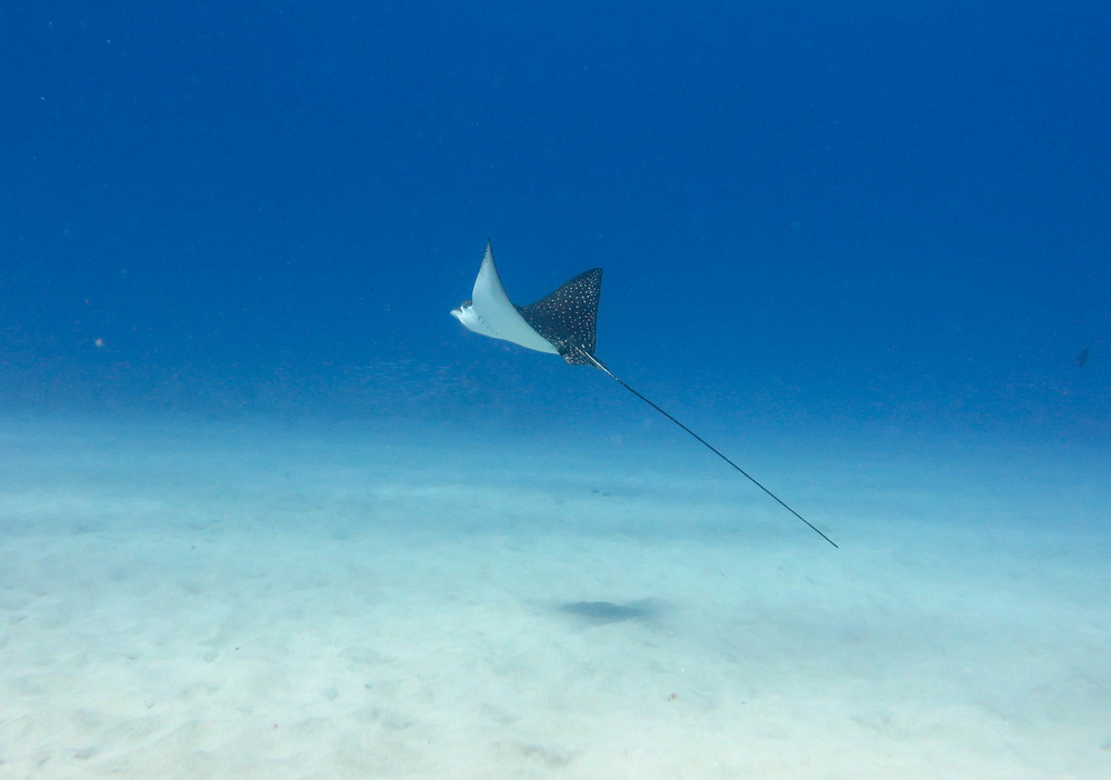 Spotted Eagle Ray @ 32' deep