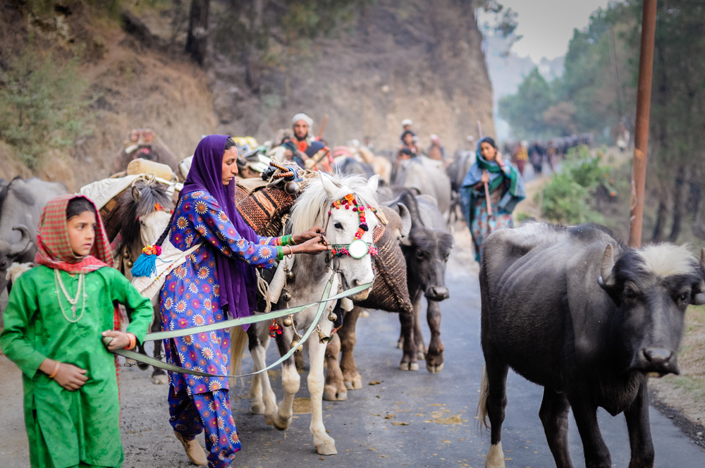 Traveling along roads is the most dangerous part of the migration, due to the threat of speeding automobiles. The family tries to reach each camp, and get their animals and themselves off the road, very early in the morning. Here, they move up the Yamuna River gorge, under a cloud of uncertainty, as they do not yet know where they can take their herd for the summer.