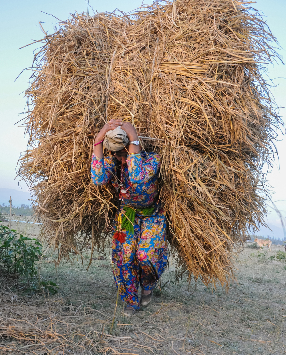While traveling outside the forest on the migration, Van Gujjar families need to buy fodder for their herds. Here, Apa, the eldest daughter, carries a towering load of grass for the buffaloes' evening meal.