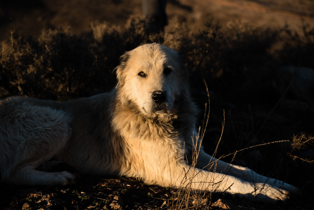 As in many herding communities, dogs are a big part of life; those in Munzur tend to be big, beautiful and surprisingly mellow.