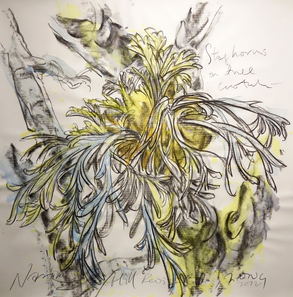 Staghorn On Tree Crotch  2013 Charcoal on paper approx. H113 x W113 cm